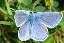 Butterfly Common Blue Polyommatus icarus