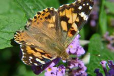 Butterfly Painted Lady Vanessa cardui