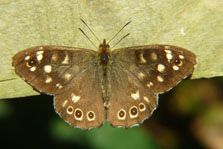 Butterfly Speckled Wood Pararge Aegeria