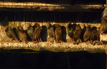 Starlings Waiting